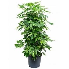 Шеффлера gold capella branched/column Диаметр горшка — 35 см Высота растения — 150 см