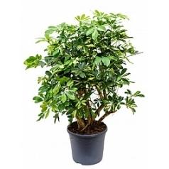 Шеффлера gold capella branched Диаметр горшка — 35 см Высота растения — 130 см
