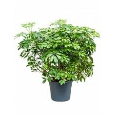 Шеффлера gold capella bush Диаметр горшка — 35 см Высота растения — 110 см