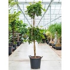 Шеффлера gold capella stem- double crown Диаметр горшка — 45 см Высота растения — 230 см
