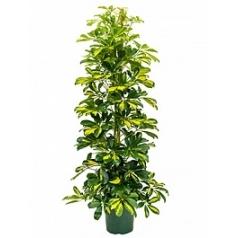 Шеффлера gold capella tuft Диаметр горшка — 20 см Высота растения — 120 см