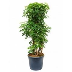 Шеффлера louisiana branched Диаметр горшка — 35 см Высота растения — 120 см