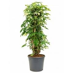 Шеффлера trinette branched/column Диаметр горшка — 35 см Высота растения — 145 см