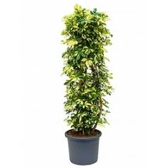 Шеффлера trinette branched/column Диаметр горшка — 40 см Высота растения — 150 см