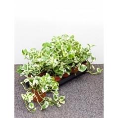 Эпипремнум n'joy hanger Диаметр горшка — 12 см Высота растения — 20 см