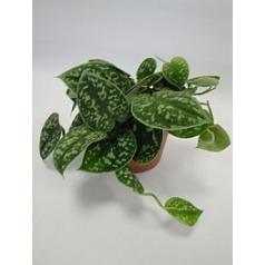Эпипремнум pictus hanger Диаметр горшка — 12 см Высота растения — 20 см