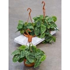 Эпипремнум pictus hanger Диаметр горшка — 15 см Высота растения — 30 см