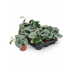 Эпипремнум pictus silvery ann 1 hanger Диаметр горшка — 8.5 см Высота растения — 15 см