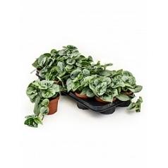 Эпипремнум pictus silvery ann 1 hanger Диаметр горшка — 11 см Высота растения — 20 см