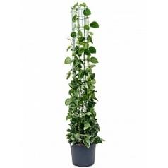 Эпипремнум pictus silvery ann column Диаметр горшка — 29 см Высота растения — 160 см