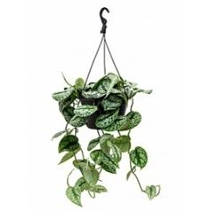 Эпипремнум pictus trebie hanger (50-70) Диаметр горшка — 28 см Высота растения — 60 см