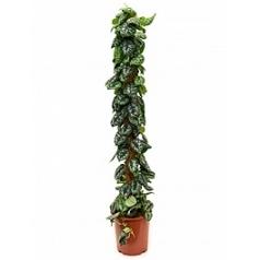 Эпипремнум pictus trebie on moss-pole Диаметр горшка — 27 см Высота растения — 150 см