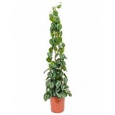 Эпипремнум pictus trebie pyramid Диаметр горшка — 27 см Высота растения — 150 см