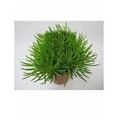 Крестовник himalaya Диаметр горшка — 12 см Высота растения — 20 см