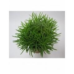 Крестовник himalaya Диаметр горшка — 10.5 см Высота растения — 20 см