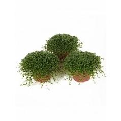 Солейролия (helexine) 15/tray green Диаметр горшка — 9 см Высота растения — 12 см