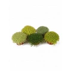Солейролия (helexine) 15/tray mix Диаметр горшка — 9 см Высота растения — 12 см