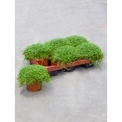 Солейролия (helexine) green Диаметр горшка — 11 см Высота растения — 18 см