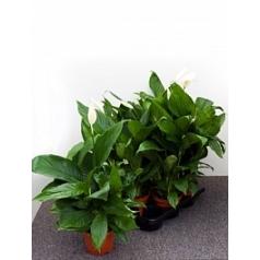 Спатифиллум lima bush Диаметр горшка — 17 см Высота растения — 60 см