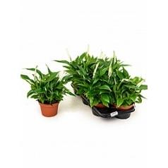 Спатифиллум pearl cupido bush Диаметр горшка — 15 см Высота растения — 40 см