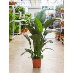 Спатифиллум sensation bush Диаметр горшка — 24 см Высота растения — 140 см
