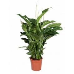 Спатифиллум sweet lauretta bush Диаметр горшка — 24 см Высота растения — 75 см