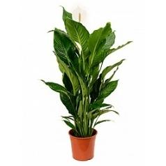 Спатифиллум sweet sebastiano bush Диаметр горшка — 24 см Высота растения — 100 см