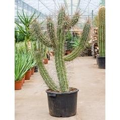Стетсония Булавовидная coryne branched Диаметр горшка — 42 см Высота растения — 130 см
