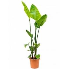 Стрелиция nicolai tuft Диаметр горшка — 26 см Высота растения — 150 см