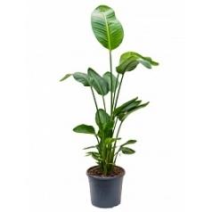 Стрелиция nicolai tuft Диаметр горшка — 31 см Высота растения — 125 см