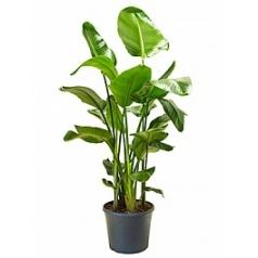 Стрелиция nicolai tuft Диаметр горшка — 35 см Высота растения — 150 см