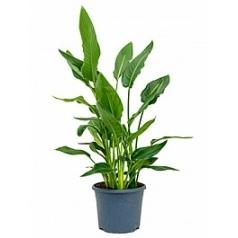 Стрелиция reginae tuft (without flowers) Диаметр горшка — 26 см Высота растения — 80 см