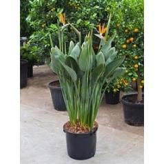 Стрелиция reginae tuft 16/22 flower-buds Диаметр горшка — 40 см Высота растения — 160 см