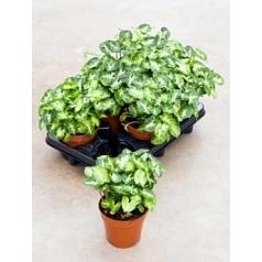 Сингониум pixie Диаметр горшка — 12 см Высота растения — 25 см