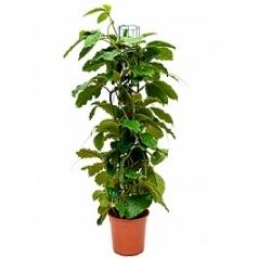 Тетрастигма виноградовая voinierianum column Диаметр горшка — 24 см Высота растения — 120 см