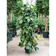 Тетрастигма виноградовая voinierianum column Диаметр горшка — 40 см Высота растения — 210 см