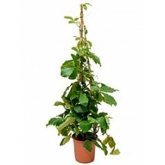 Тетрастигма виноградовая voinierianum pyramid Диаметр горшка — 27 см Высота растения — 150 см
