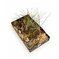 Tillsia arrangement 3/box airplant Диаметр горшка — - см Высота растения — 20 см