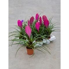 Tillsia cyanea anita 9/tray Диаметр горшка — 9 см Высота растения — 30 см