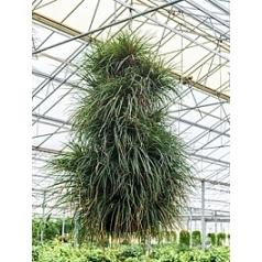 Tillsia cyanea column Диаметр горшка — 35 см Высота растения — 100 см