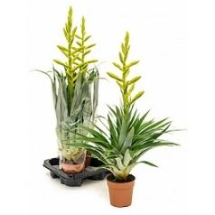 Tillsia oerstediana 3/tray lime green Диаметр горшка — 12 см Высота растения — 65 см