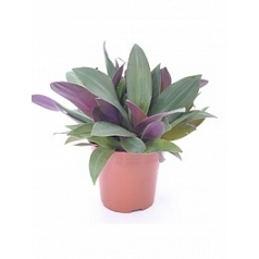 Традесканция spatacea purple passion Диаметр горшка — 12 см Высота растения — 30 см
