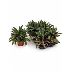 Традесканция spathacea sitara Диаметр горшка — 12 см Высота растения — 25 см