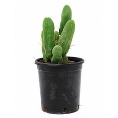 Эхинопсис (кактус) bridgesii Диаметр горшка — 12 см Высота растения — 25 см