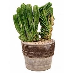 Эхинопсис (кактус) pachanoi var. cristata Диаметр горшка — 35 см Высота растения — 70 см