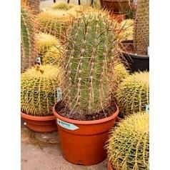 Эхинопсис (кактус) pasacana 1pp (70-80) Диаметр горшка — 25 см Высота растения — 80 см