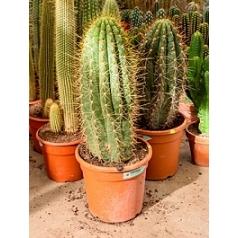 Эхинопсис (кактус) pasacana 1pp (90-100) Диаметр горшка — 30 см Высота растения — 100 см
