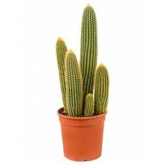 Ватрикания (кактус) guentheri 3/4 pp (60-70) Диаметр горшка — 24 см Высота растения — 65 см