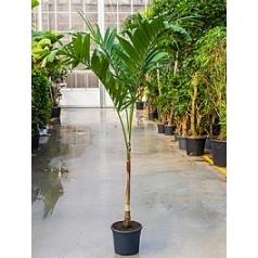Пальма Вейчия Адонидия merrillii (200-210) stem Диаметр горшка — 31 см Высота растения — 200 см