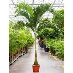 Пальма Вейчия Адонидия merrillii stem Диаметр горшка — 38 см Высота растения — 325 см